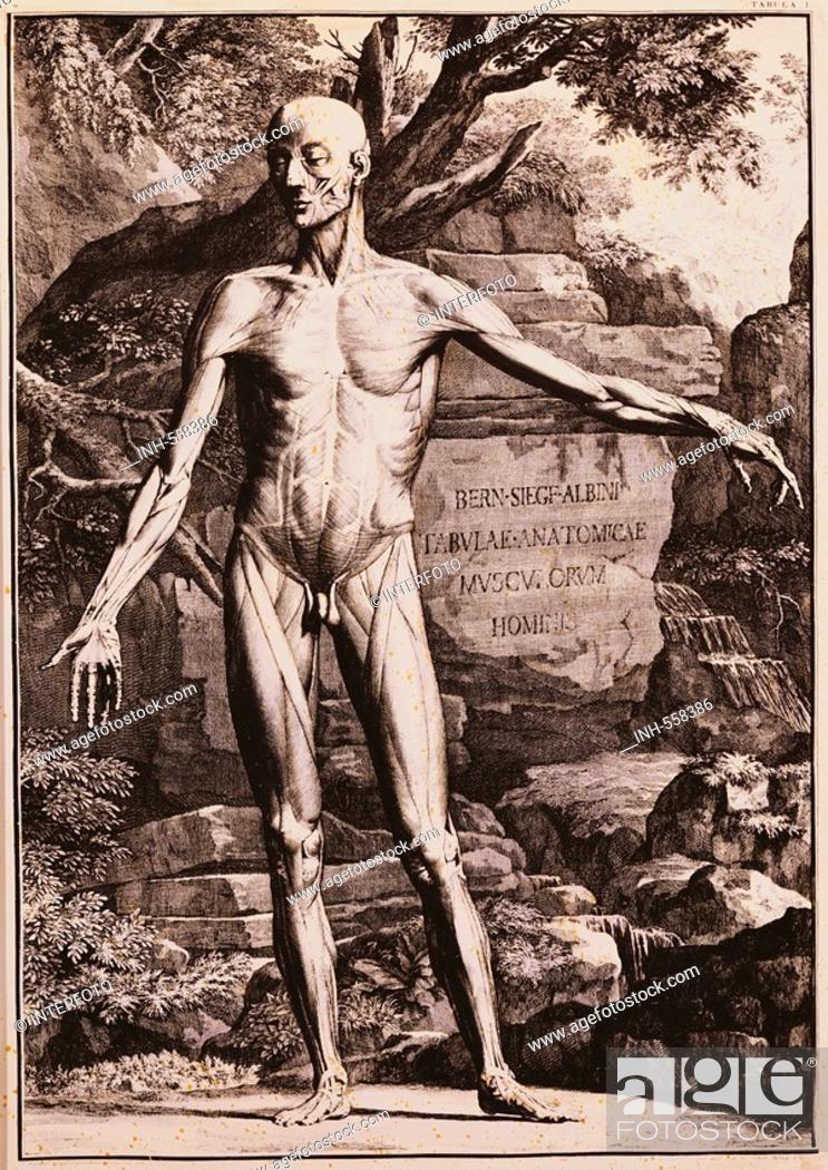 medicine, anatomy, standing man, copper engraving by J. Wandelaar ...