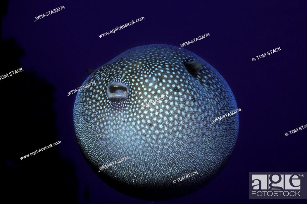 Stock Photo: Pufferfish is stressed, Arothron stellatus, Hawaii, USA.
