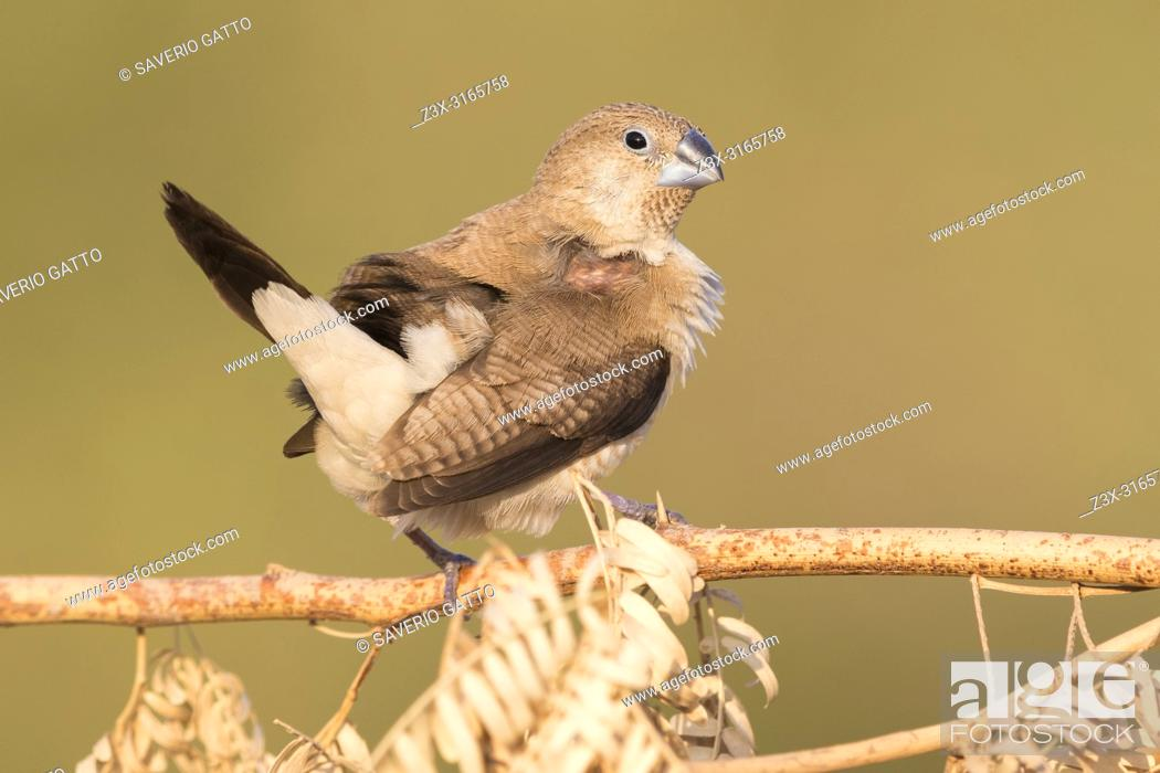 Stock Photo: African Silverbill (Euodice cantans), single individual perched on a branch.