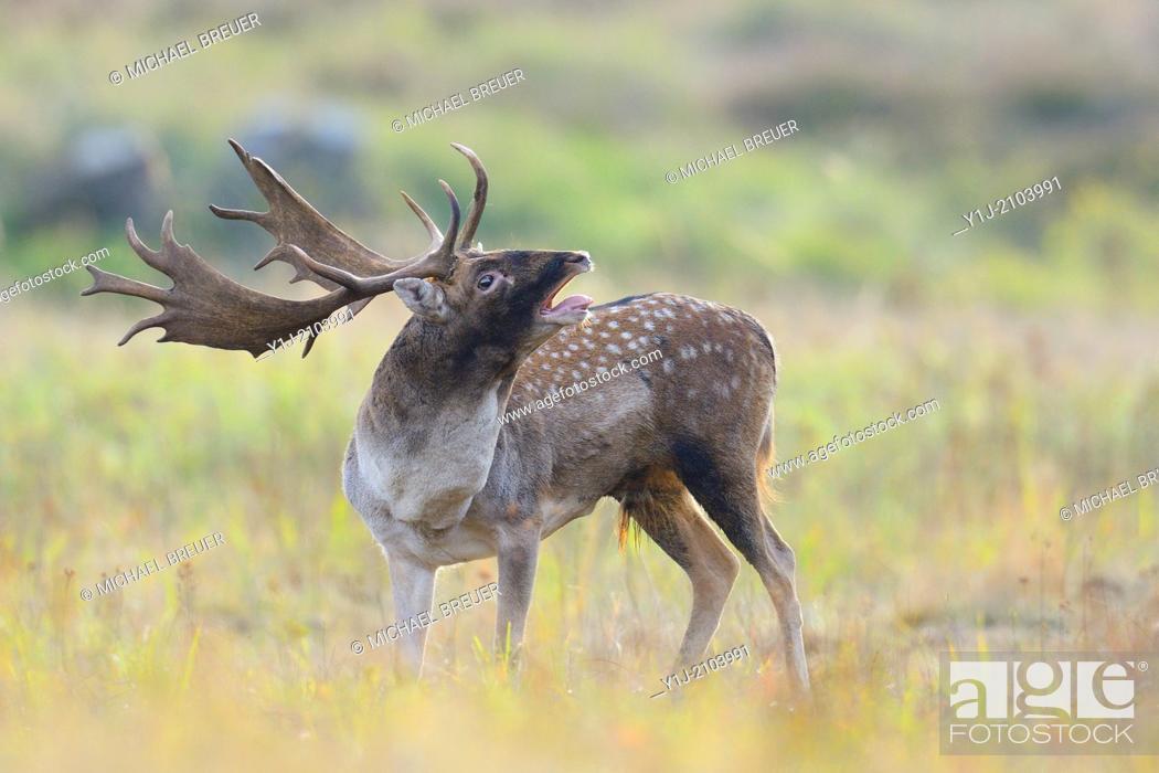 Stock Photo: Belling Fallow Deer in Rutting Season, Cervus dama, Hesse, Germany, Europe.