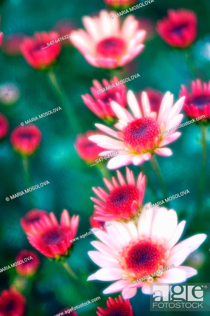 Stock Photo: Pink Decorative Chrysanthemums with Dark Centers. Dendranthema grandiflora. October 2006. Maryland, USA.