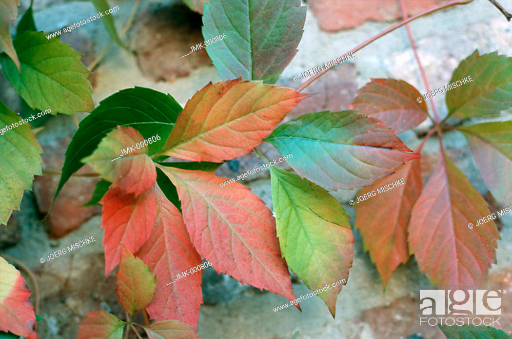 Stock Photo: Coloured leaves in autumn, lying on the ground.