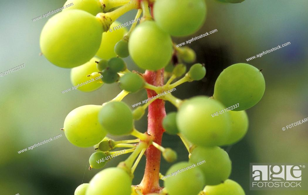 Stock Photo: healthy, burgenland, grapes, fruit, calf, robert, austria.