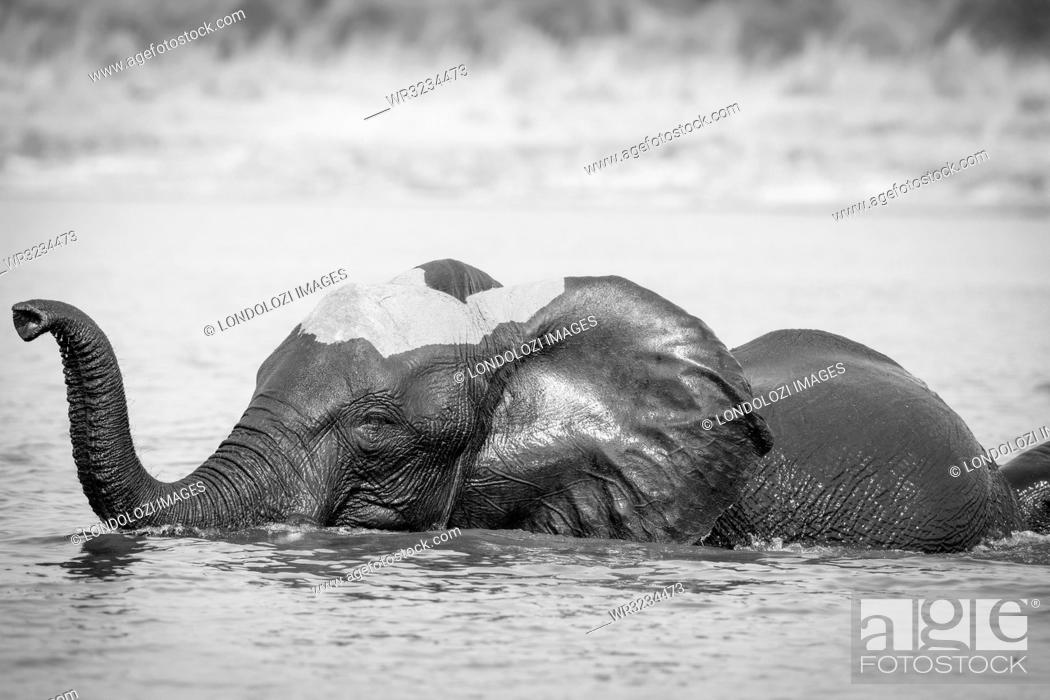 Stock Photo: An elephant, Loxodonta africana, stands in water, wet skin, trunk curled in air.