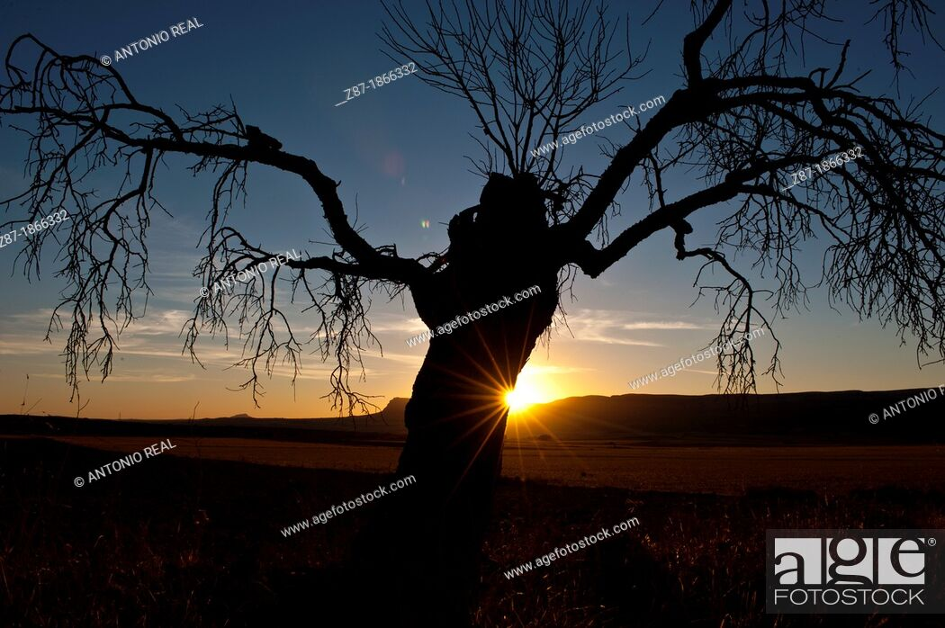 Stock Photo: Almond dry at sunset, Almansa, Albacete.