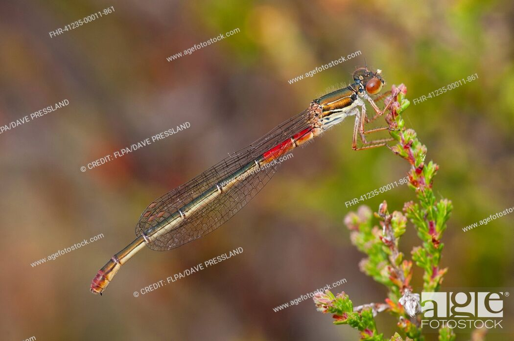 Stock Photo: Small Red Damselfly (Ceriagrion tenellum) adult female, resting on heather, Thursley Common National Nature Reserve, Surrey, England, July.