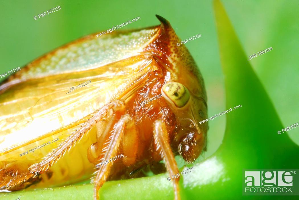 Stock Photo: Treehopper, Membracidae, Auchenorrhyncha, Hemiptera  2012.