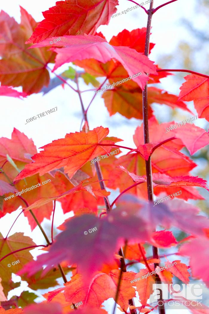 Stock Photo: ACER RUBRUM 'BRANDYWINE'.