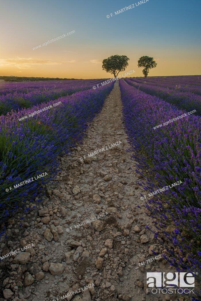 Stock Photo: Lavender fields in Brihuega Guadalajara. Spain.