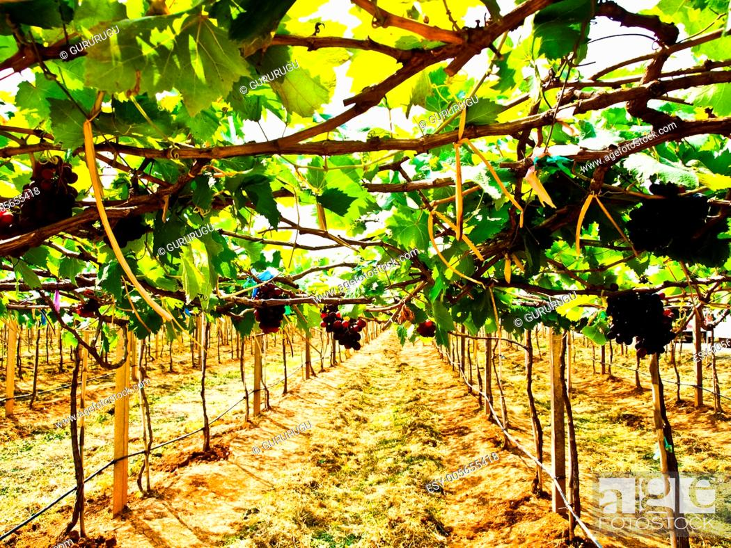 Stock Photo: Bunch of red grapes with green leaves in Wine yard in Nakorn Ratchasima, Thailand.