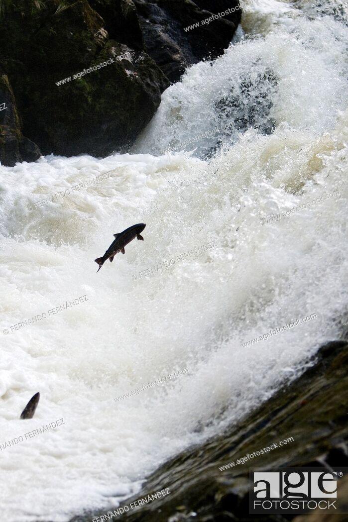 Stock Photo: Salmon climbing. Falls of Feugh. River Feugh. Banchory. Aberdeenshire. Scotland. Europe.