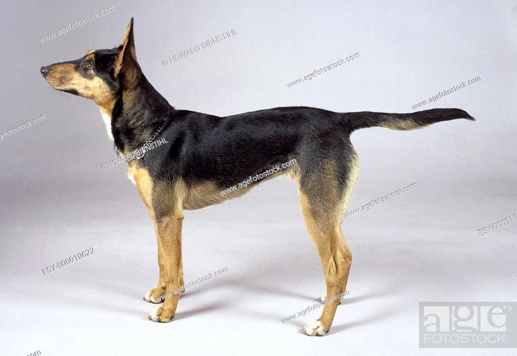 Stock Photo: studio image of an alert obedient kelpie dog with pointing nose and tail.