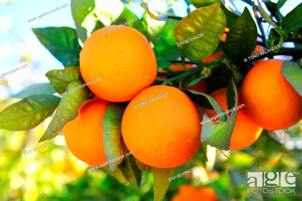 Photo de stock: branch orange tree fruits green leaves in Valencia Spain.