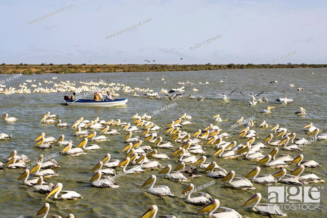 Stock Photo: Tourist boat passing by flock of Great White Pelicans (Pelecanus onocrotalus), Djoudj National Park, Senegal.
