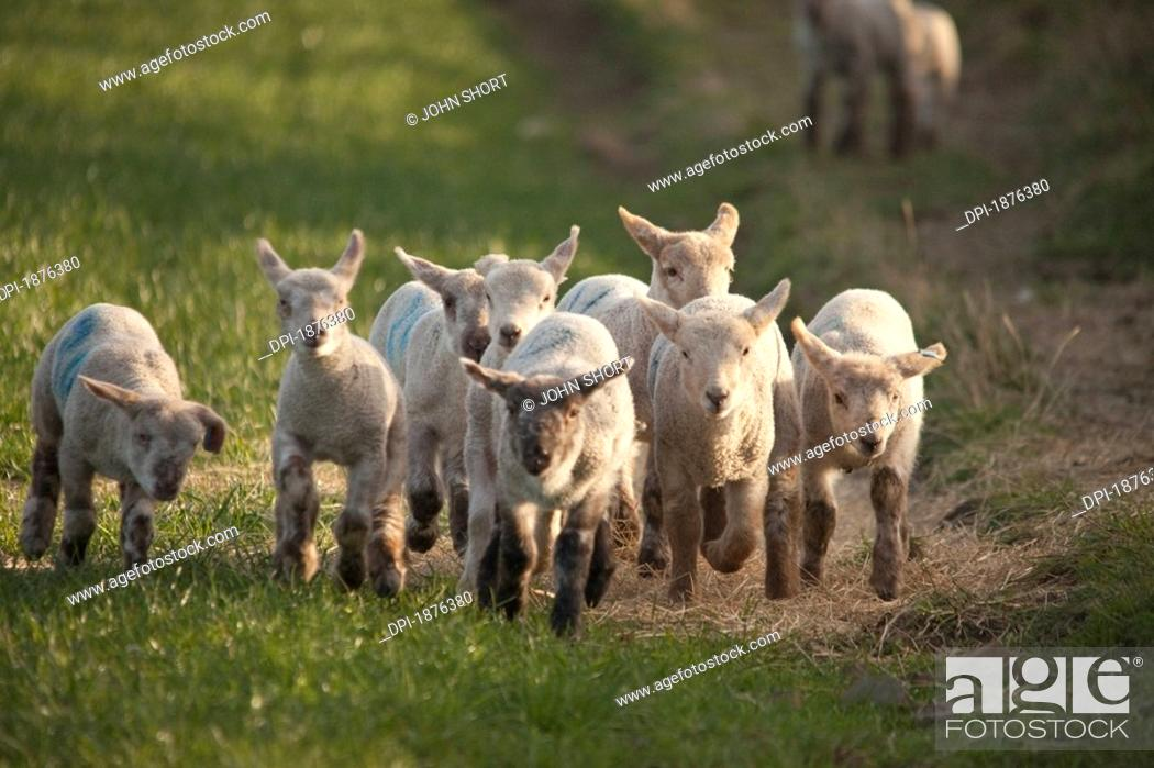 Stock Photo: Northumberland, England, A Group Of Lambs Running Together.