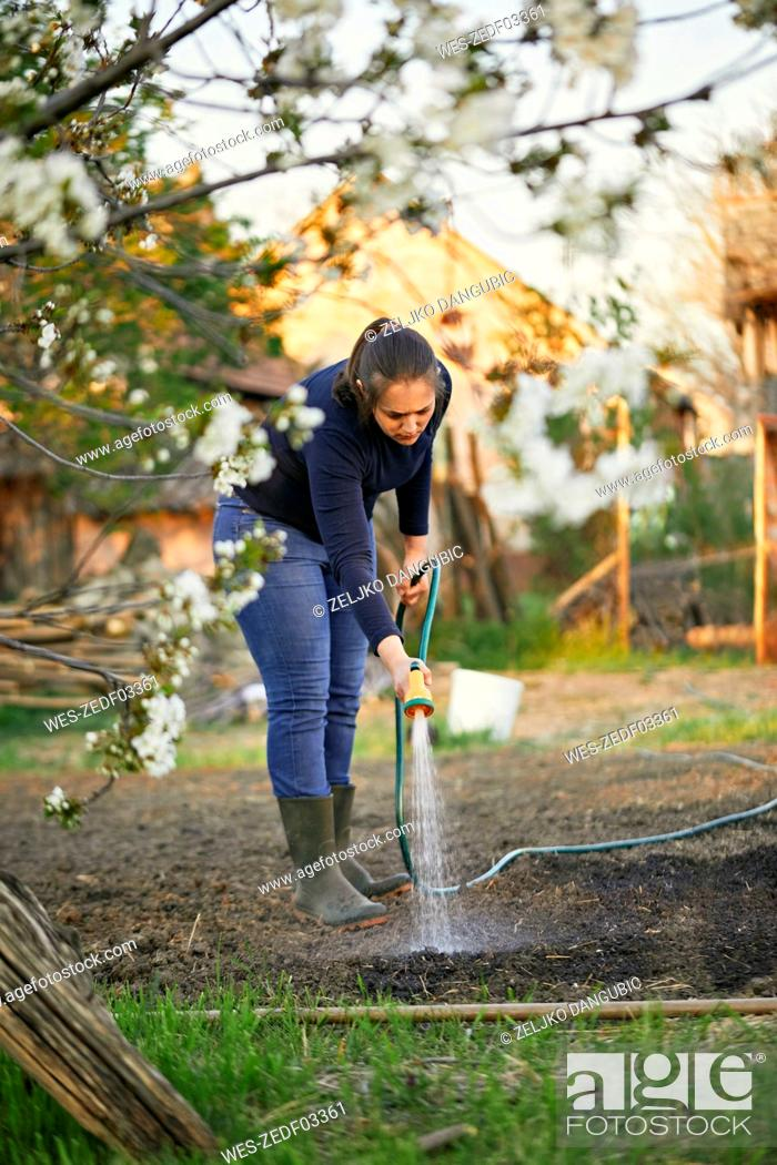 Stock Photo: Full length of woman watering with garden hose.