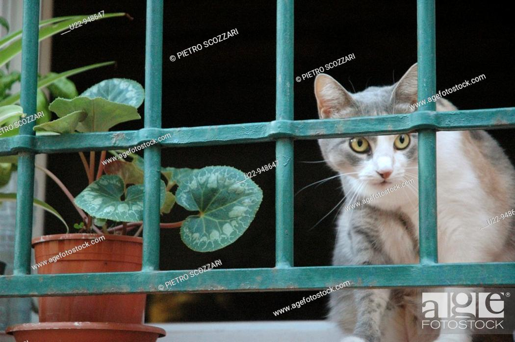 Stock Photo: Santarcangelo di Romagna (Rimini, Italy), a cat at a window.