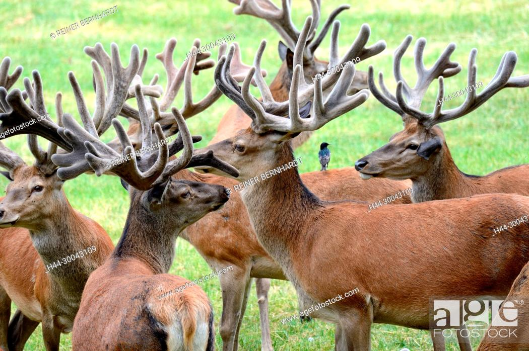 Photo de stock: Cerviden, Cervus elaphus, antlers, antler bearer, home game, deer, deer rut, deer, hoofed animals, capitals red deer, red deer, red deer, red deer in the phloem.