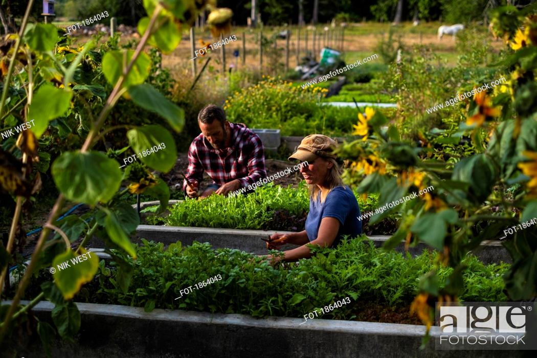 Imagen: Farmers tending to vegetable garden.