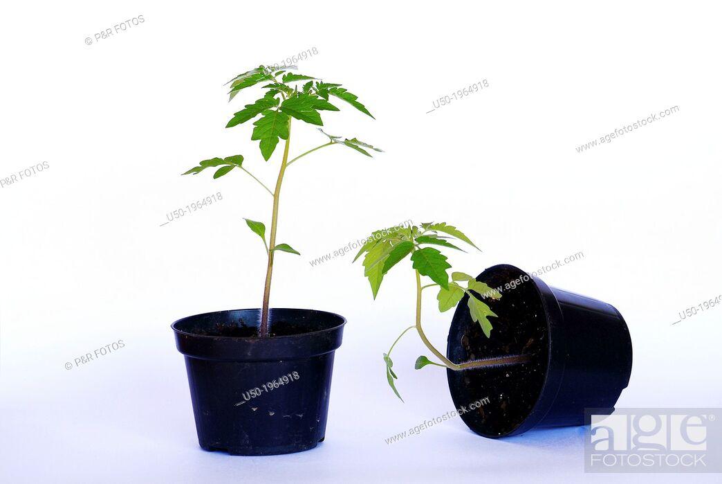 Stock Photo: Gravitropism in tomato plant. Plant on right has negative gravitropic response.
