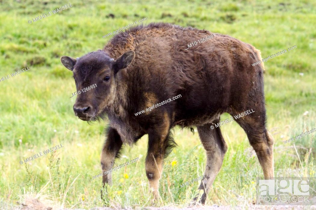 Stock Photo: Young Buffalo in Hayden Valley.