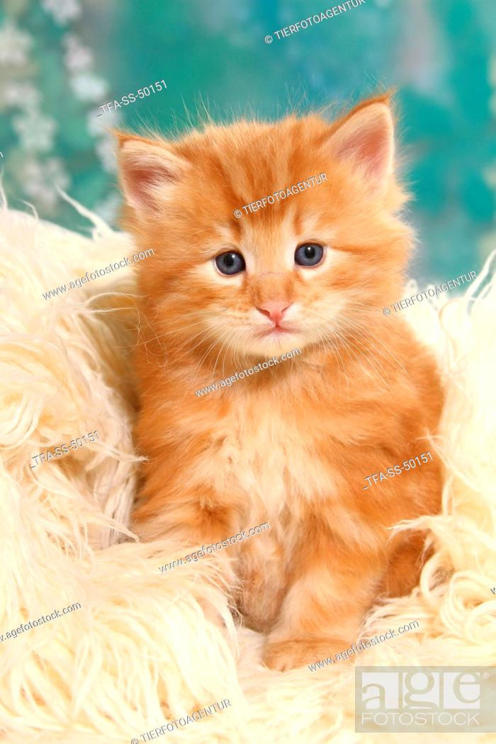 Norwegian Forest Cat Kitten Stock Photo Picture And Rights Managed Image Pic Tfa Ss 50151 Agefotostock
