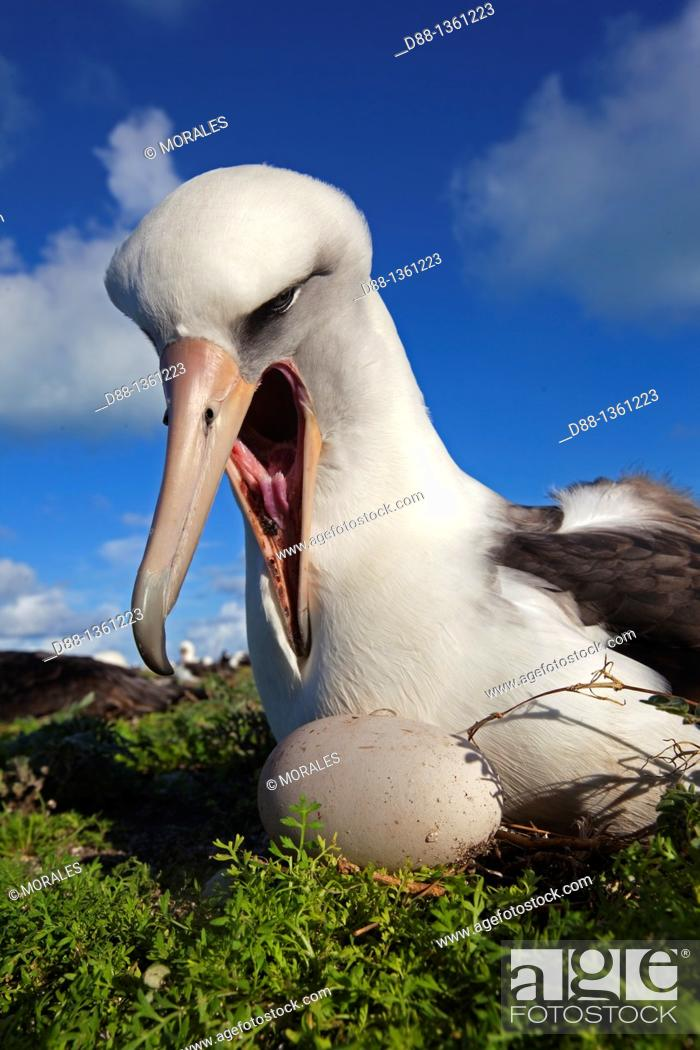 Stock Photo: Laysan Albatross (Phoebastria immutabilis), Midway Atoll National Wildlife Refuge, Sand Island, Hawaii, USA.