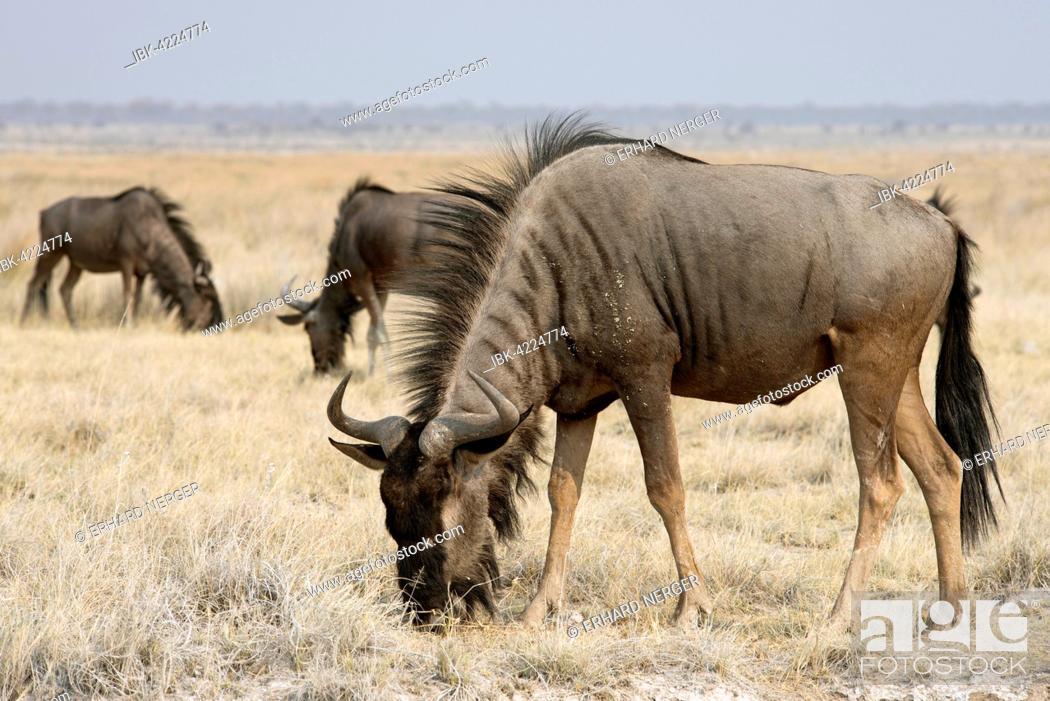 Stock Photo: Blue wildebeest (Connochaetes taurinus), Etosha National Park, Namibia.