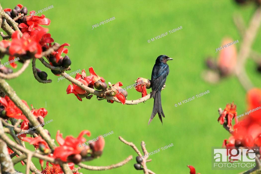 Stock Photo: Black Drongo is a common bird in Bangladesh Narsingdi, Bangladesh February, 2008.