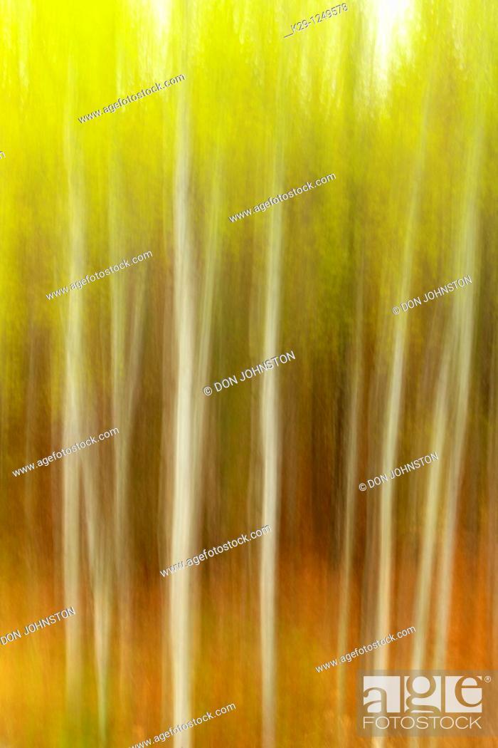 Stock Photo: White birch grove Camera movement.