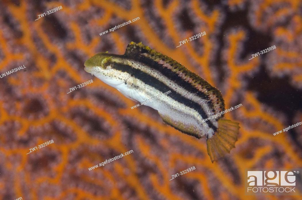 Stock Photo: Shorthead Fangblenny (Petroscirtes breviceps, Blenniidae family) against sea fan, Jetty dive site, Padangbai, near Candidasa, Bali, Indonesia.