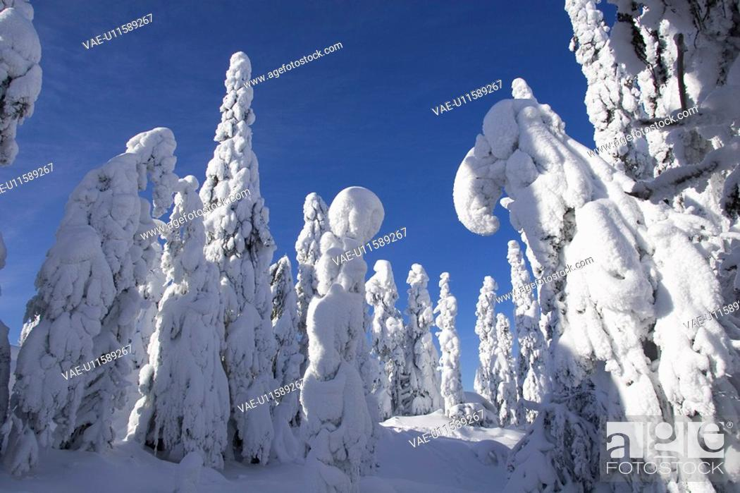 Stock Photo: Blue, Clear Sky, Covering, Day, Evergreen Tree.