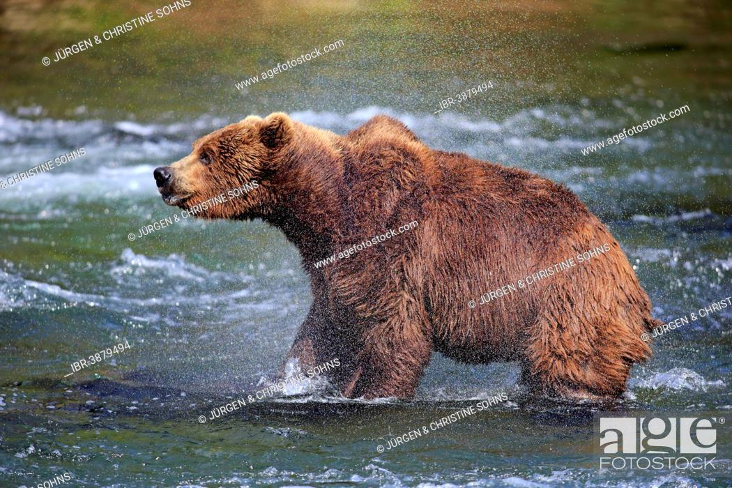 Photo de stock: Grizzly Bear (Ursus arctos horribilis) adult, in the water, shaking , Brooks River, Katmai National Park and Preserve, Alaska, United States.
