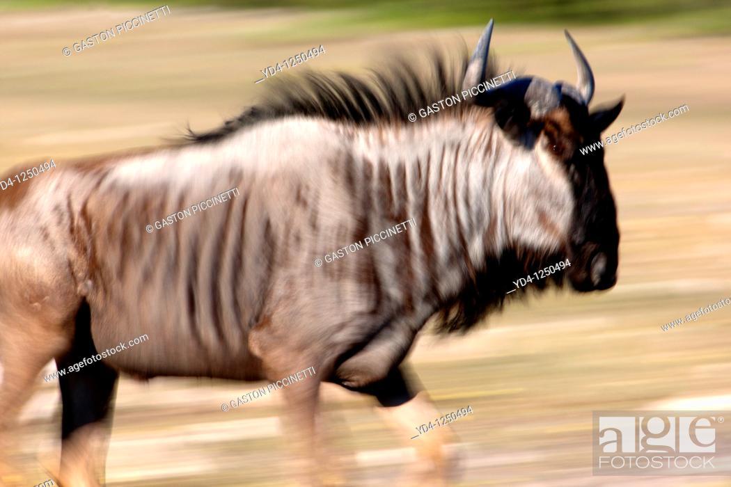 Stock Photo: Bluewildebeest Connochaetes taurinus, Etosha National Park, Namibia.