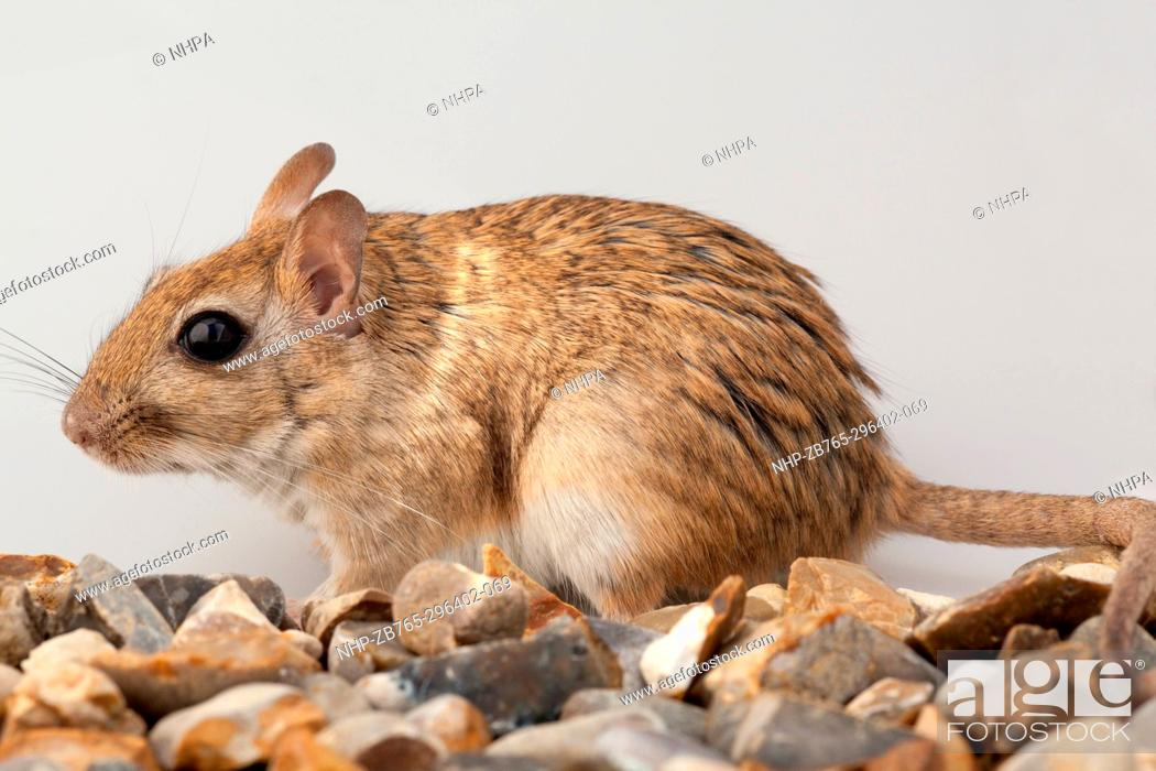 Stock Photo: Shaw's Jird (Meriones shawi).