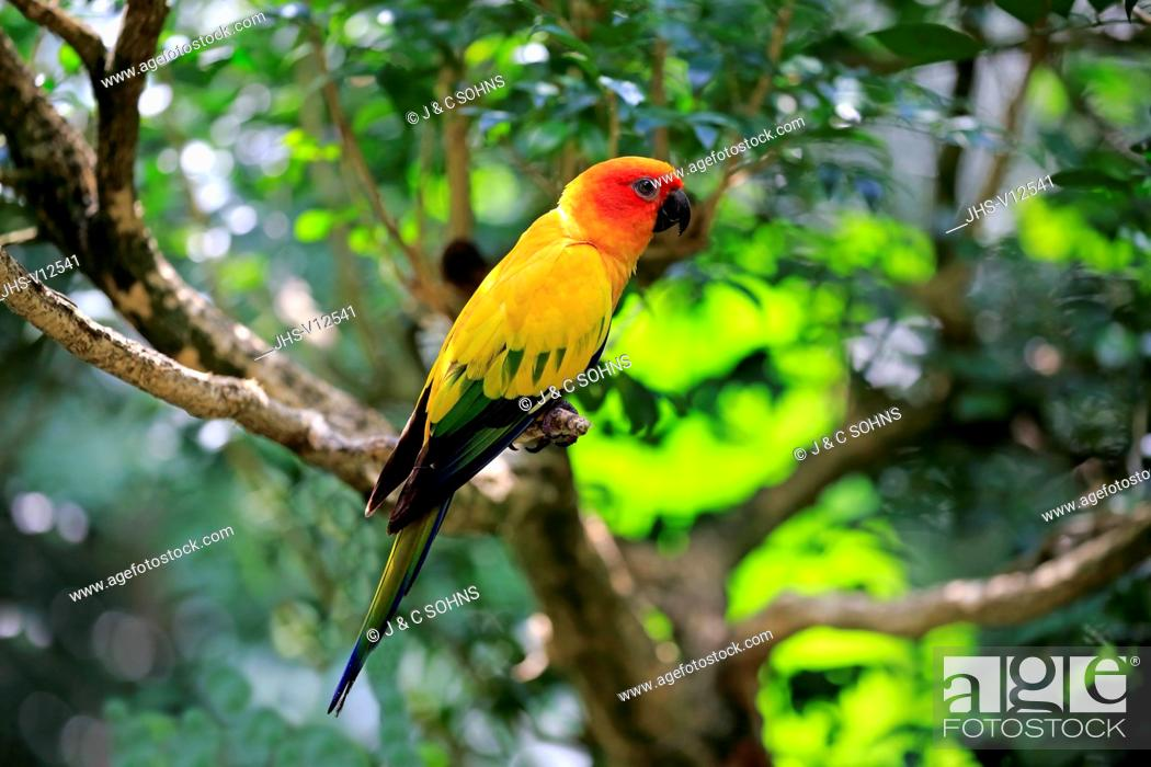Stock Photo: Sun Conure, (Aratinga solstitialis), adult on branch, South America.