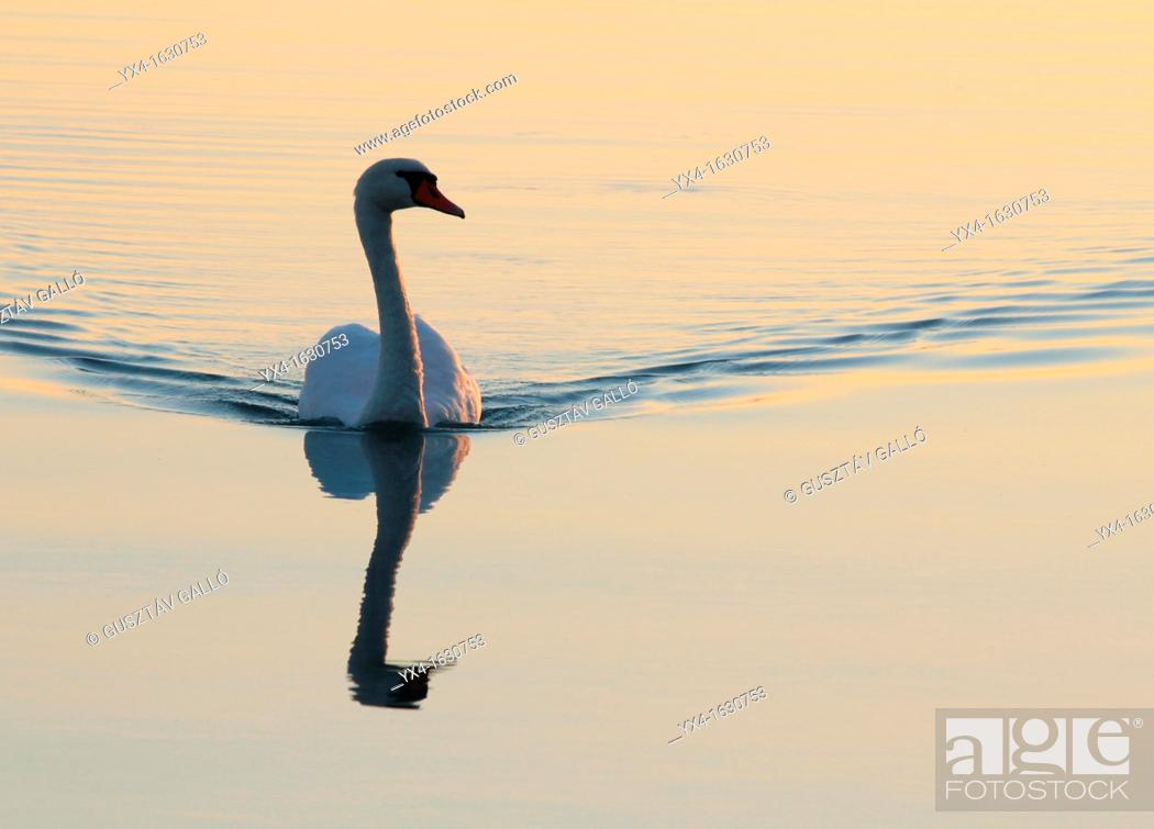 Stock Photo: White swan swimming in the lake, the evening sun.