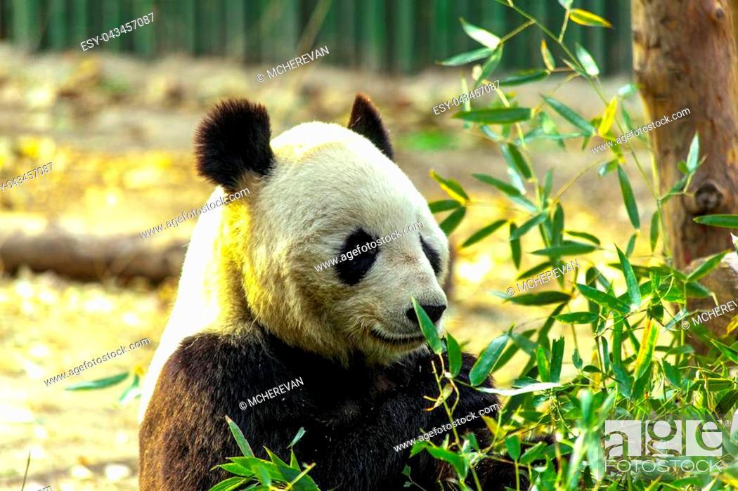 Stock Photo: Giant Panda China. Panda eats bamboo.