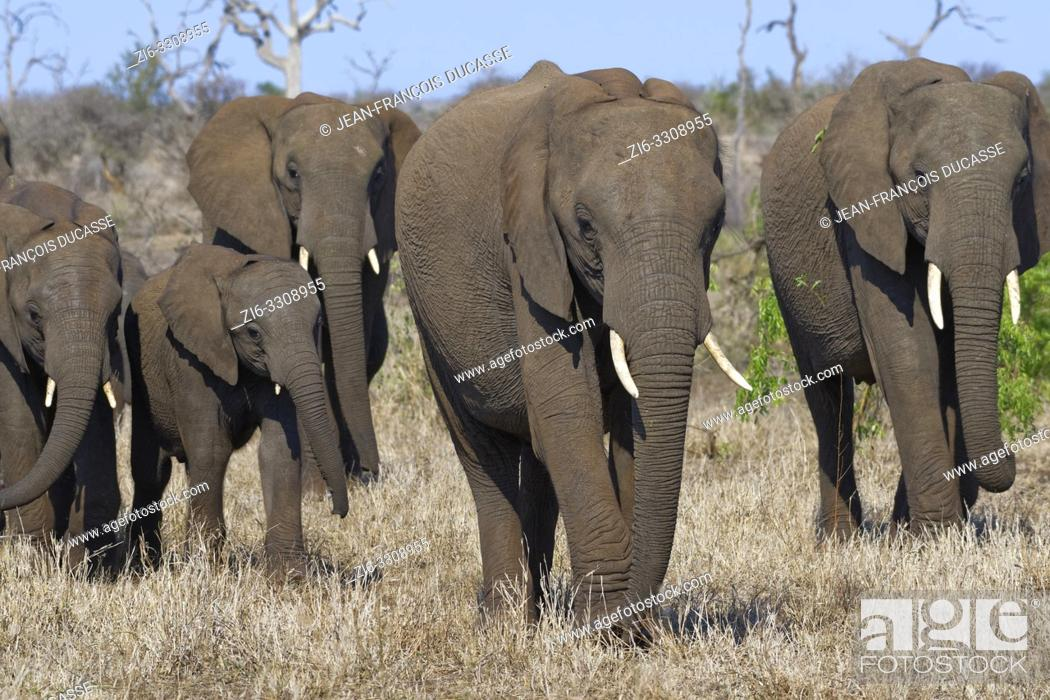 Stock Photo: African bush elephants (Loxodonta africana), elephant cows with young, walking on dry grass, Kruger National Park, South Africa, Africa.