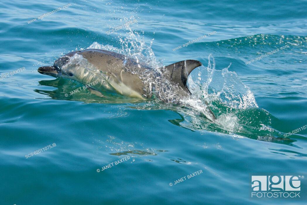 Stock Photo: Short-beaked common dolphin Delphinus delphis Pembrokeshire, Wales, UK RR.