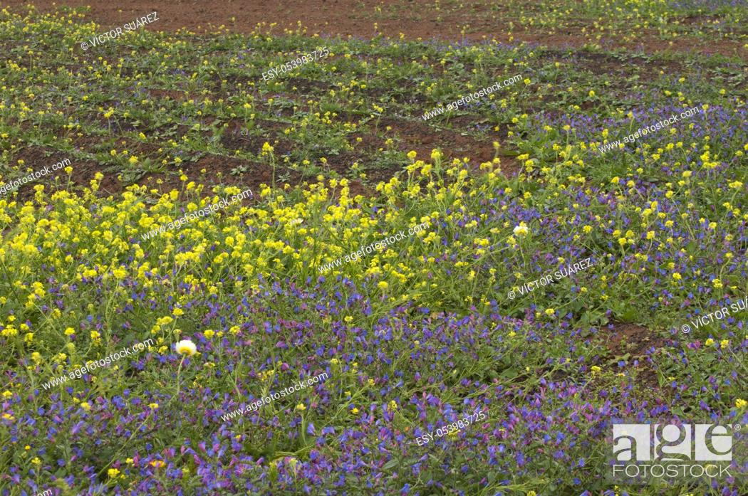 Stock Photo: Plant Echium lancerottense (violet flowers) and shortpod mustard (Hirschfeldia incana) (yellow flowers). Haria. Lanzarote. Canary Islands. Spain.
