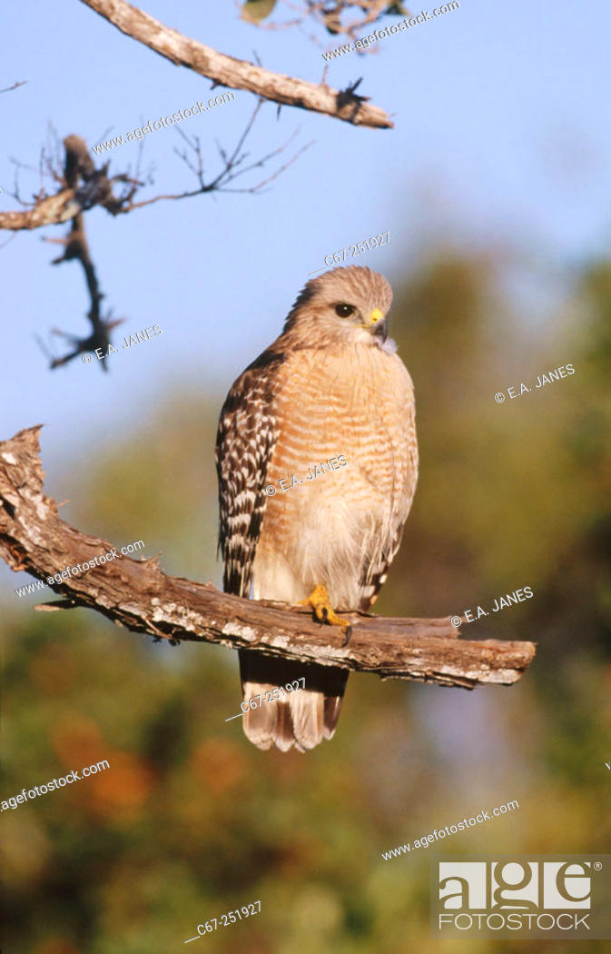 Stock Photo: Red-shouldered Hawk (Buteo lineatus).