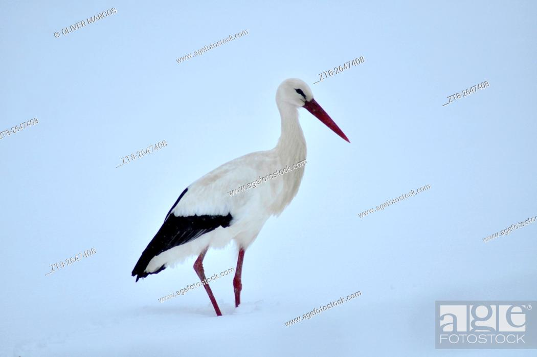 Stock Photo: White Stork in a snow covered landscape. Leon province, Spain.