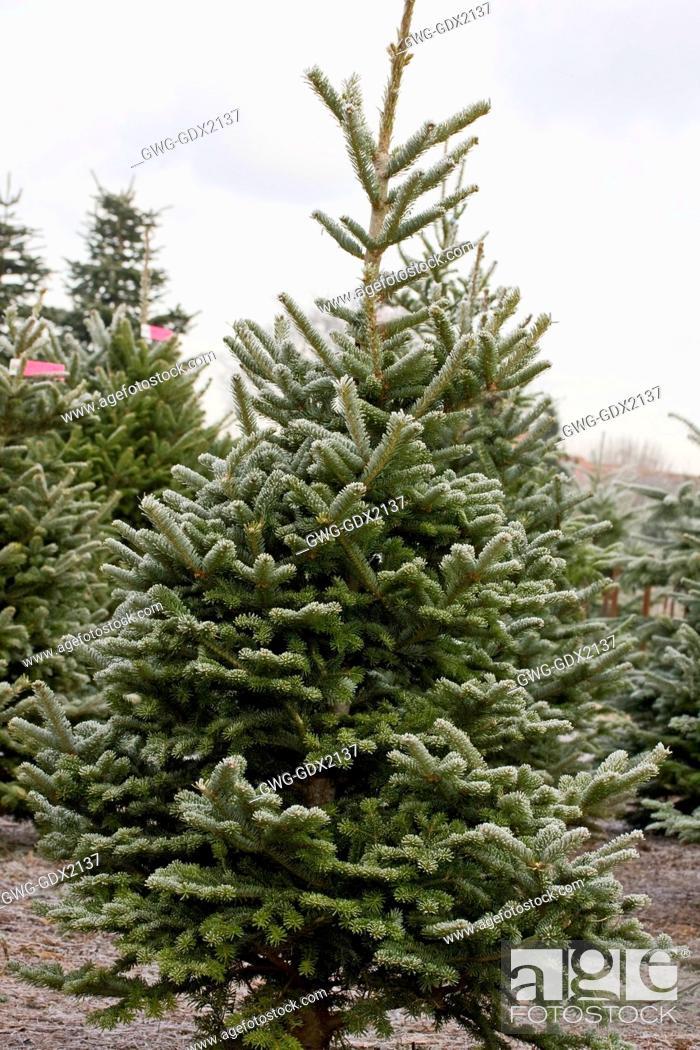 Stock Photo - ABIES FRASERI THE CHRISTMAS TREE FARM HAWKWELL - ABIES FRASERI THE CHRISTMAS TREE FARM HAWKWELL, Stock Photo, Picture