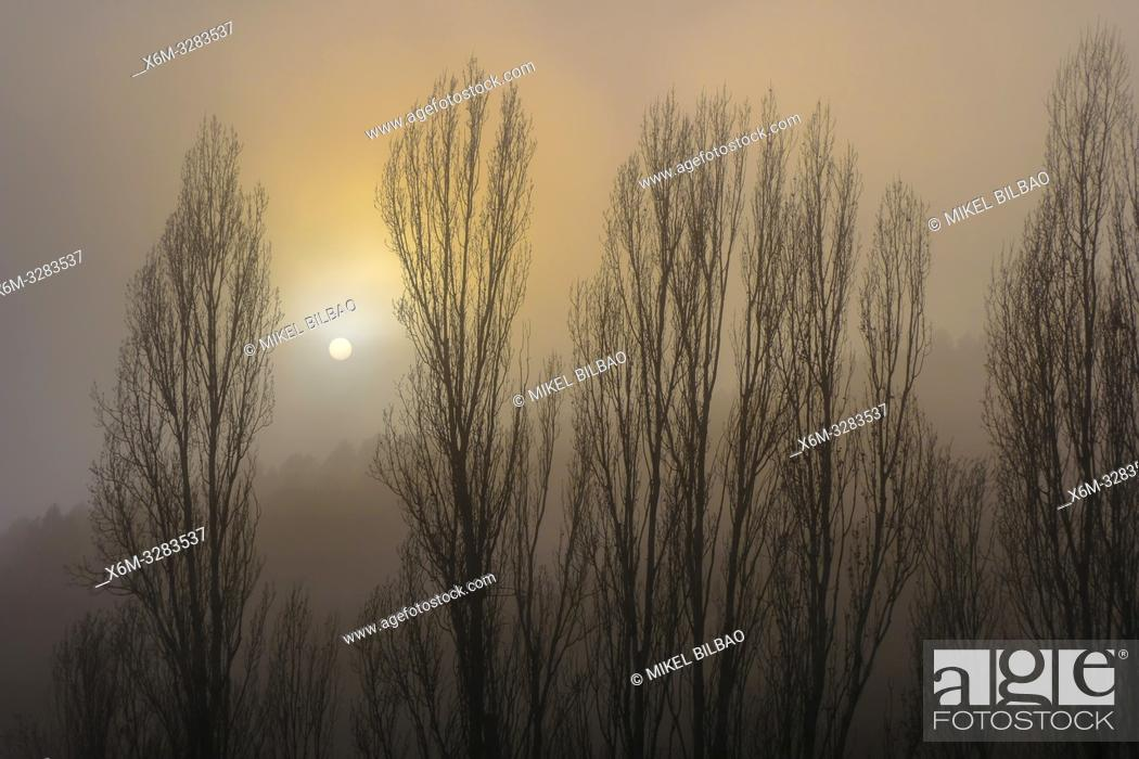 Stock Photo: Poplar grove in the mist close to Torralba del Rio village. Navarre, Spain, Europe.