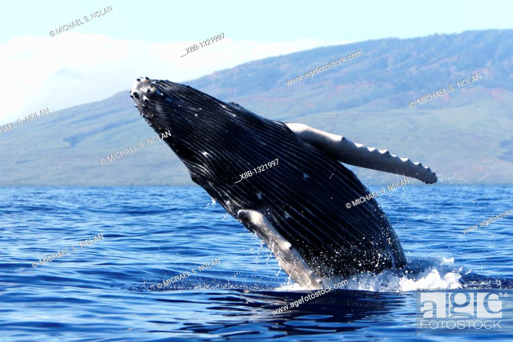 Stock Photo: Humpback whale Megaptera novaeangliae calf breaching in the AuAu Channel, Maui, Hawaii, USA  Pacific Ocean.