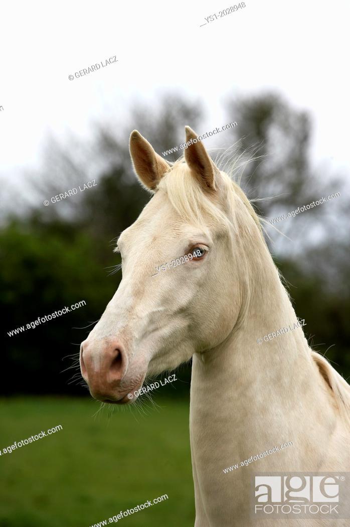 Stock Photo: Akhal Teke, Horse Breed from Turkmenistan, Portrait of Mare.