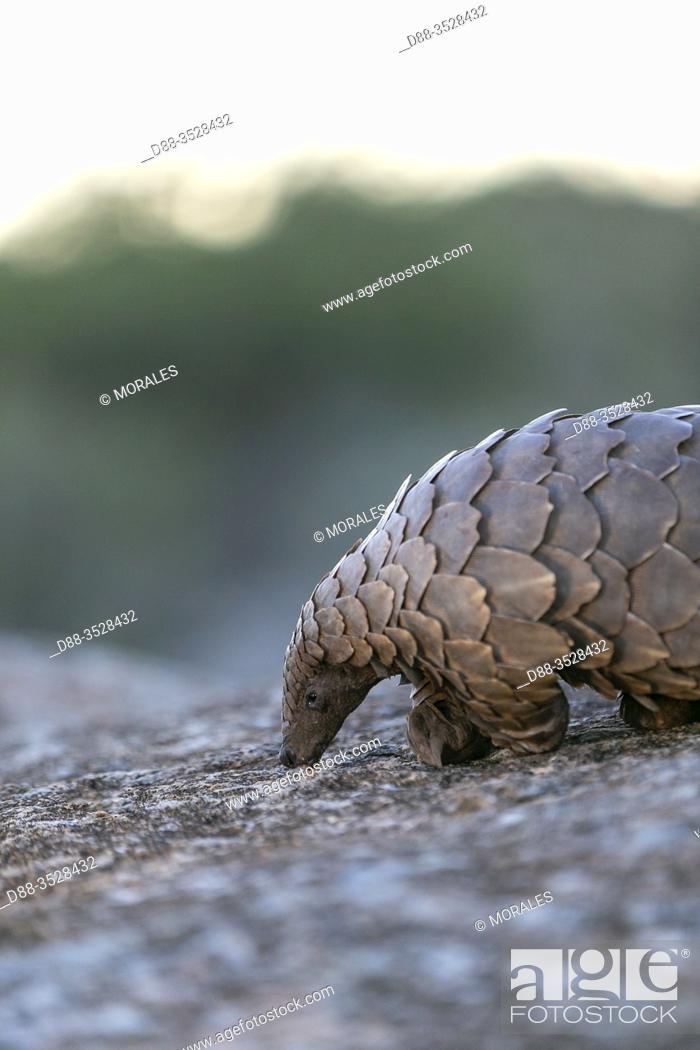 Stock Photo: Africa, Namibia, Private reserve, Ground pangolin, also known as Temminck's pangolin or Cape pangolin, (Smutsia temminckii), controlled conditions.