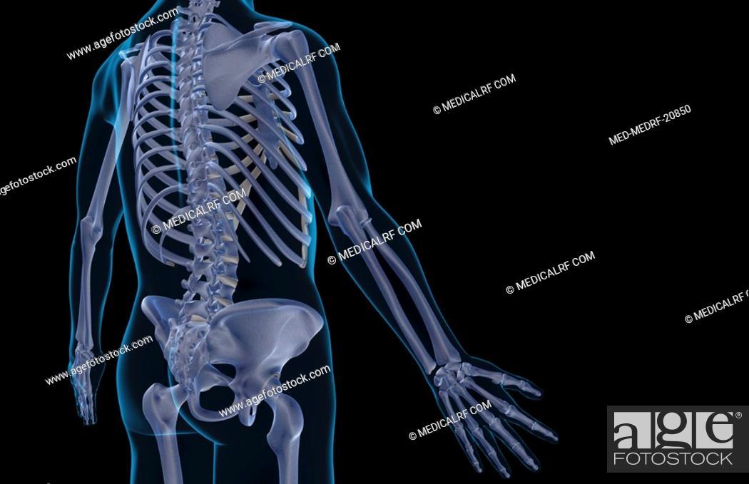 Stock Photo: The bones of the trunk.