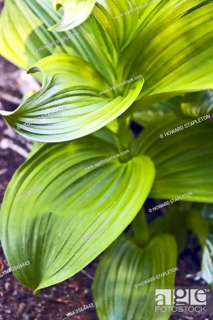 Imagen: Wild hellebore (Veratrum viride) plant without flowers. This plant is known by several names including Indian hellebore Indian poke, corn-lily, Indian hellebore.